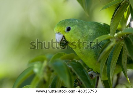 A Blue-winged Parrotlet blending in with the green leaves, feeding on small fruits - Iguazu, Argentina. - stock photo