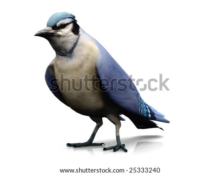 A bluejay bird on white background.