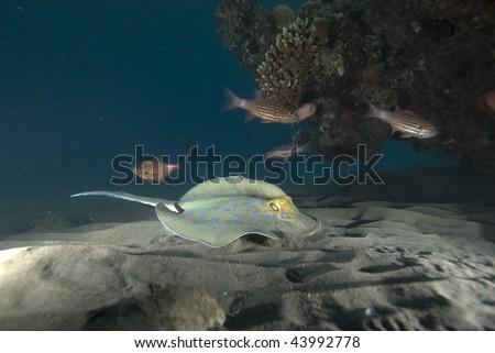 A Bluespotted stingray (Taeniura lymma) resting in the sand, close up,side angle view. Red Sea, Egypt