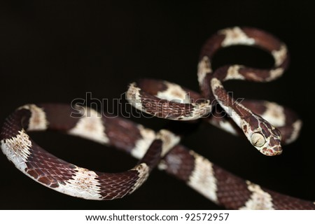A Blunthead Treesnake (Imantodes cenchoa) from the Peruvian Amazon Isolated with plenty of space for text - stock photo