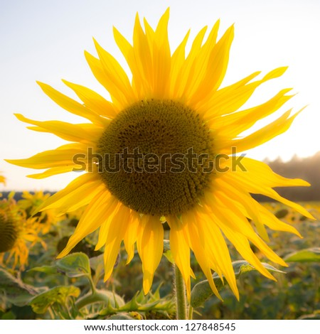 a blurred sunflower on field - stock photo