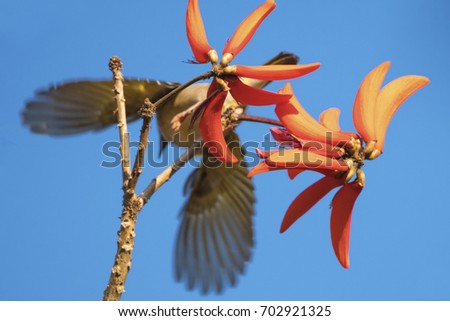 A blurred weaver flying away from in focus red corral tree flowers