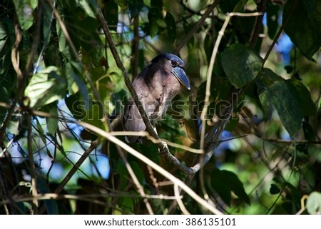 A Boat-billed Heron (Cochlearius cochlearius) at the carara national park central america