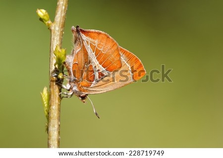 A body there is English letter y-pattern of Brown butterfly, lay their eggs on the branches after a break, in a bright green background - stock photo