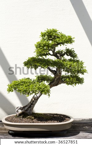 A bonsai miniature of a Chinese Elm (ulmus parvifolia) tree on display at the National Arboretum in Washington, DC. - stock photo