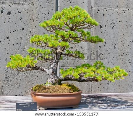 A bonsai miniature of a Japanese White Pine tree on display at the  North Carolina Arboretum. Asheville,NC. - stock photo