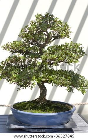A bonsai miniature tree on display at the National Arboretum in Washington, DC. - stock photo