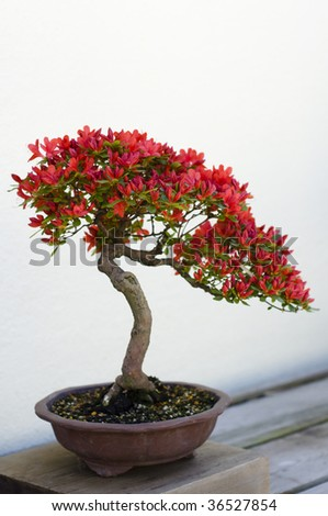 A bonsai miniature tree on display at the National Arboretum in Washington, DC. - stock photo