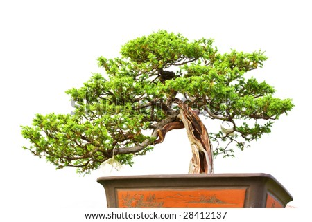 A bonsai of banyan  in pot - stock photo