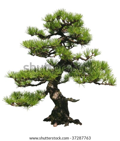 A bonsai tree over a white background