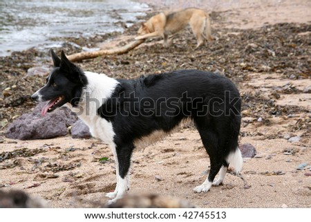 A Border Collie covered in sand on the beach with a German Shepherd in the background fighting with a bit of driftwood.