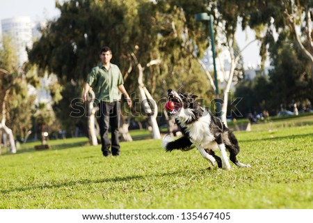 A Border Collie dog caught in the middle of catching a red rubber ball, on a sunny day at an urban park. His owner can be seen observing the action from the background. - stock photo