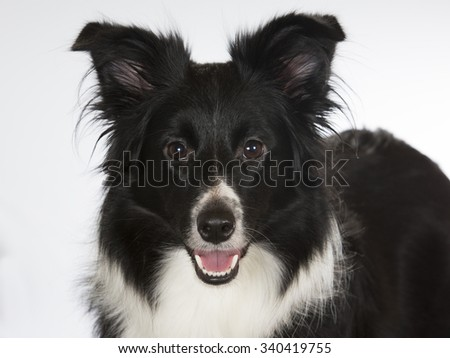 A border collie dog in a portrait. Image taken in a studio. - stock photo