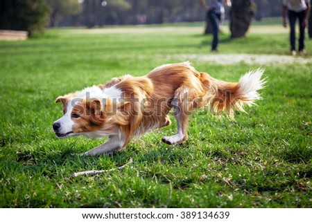 A Border Collie dog playing with its owner on a frisk morning in the park. - stock photo