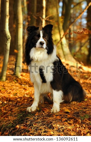 A border Collie dog sitting on the grass at the park, - stock photo