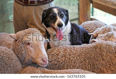a border collie dog sitting on top of sheep - stock photo