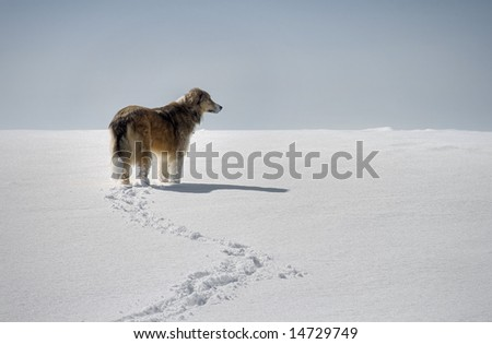 A Border-Collie in a field walking in the snow - stock photo