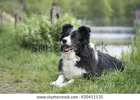A border collie in nature