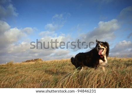 A border collie in running through  long grass