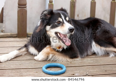A border collie laying in the garden with his toy - stock photo