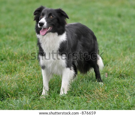 A border collie posing on grass