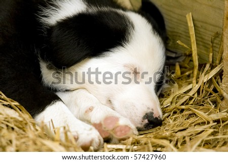 A Border Collie puppy sleeping on a bed of straw