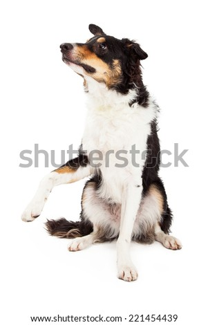 A Border Collie sitting and offering paw.  The dog is looking off to the side. - stock photo