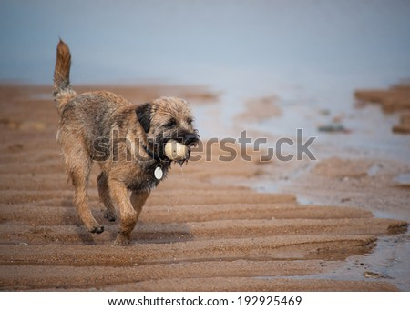 A Border Terrier On The Beach With A Ball - stock photo
