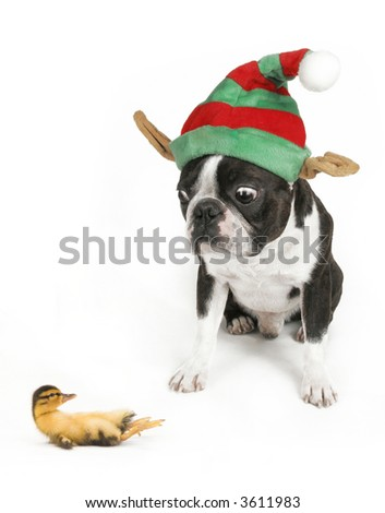 a boston terrier and a tiny duckling - stock photo