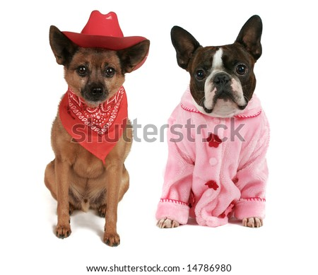 a boston terrier dressed in a pink coat and a cowboy dog - stock photo