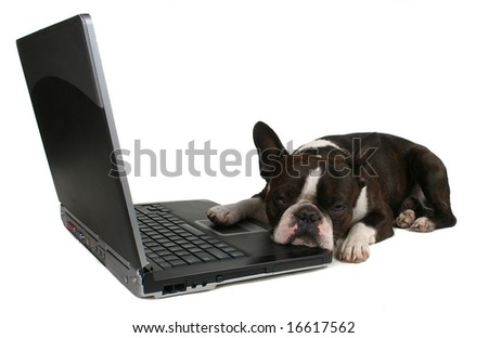 a boston terrier in front of a laptop - stock photo