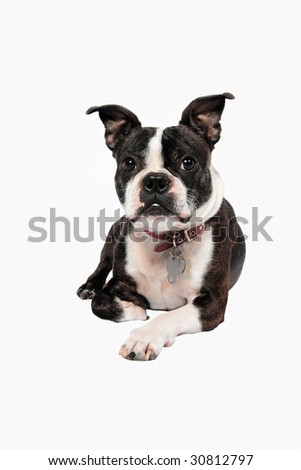 A Boston Terrier in front of a white background - stock photo