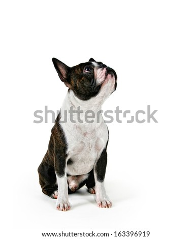 a boston terrier looking up