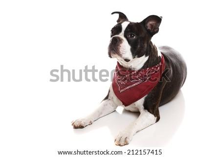 A Boston Terrier lying down - stock photo