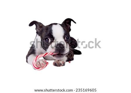 A Boston Terrier puppy eating a candy cane. - stock photo