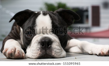 A Boston Terrier puppy lays on a porch looking bored/Bored Boston - stock photo