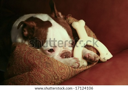 A Boston Terrier resting a sofa with a pillow and his bone.