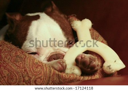 A Boston Terrier resting a sofa with a pillow and his bone. - stock photo
