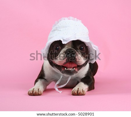 a boston terrier with a baby bonnet on - stock photo