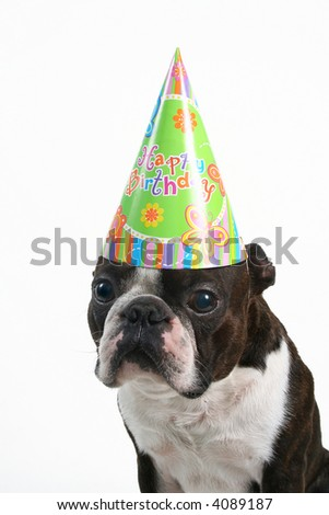 a boston terrier with a birthday hat on - stock photo