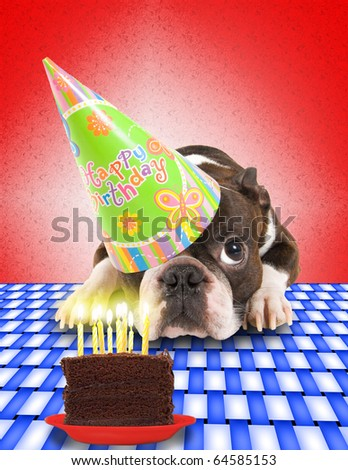 a boston terrier with a cake - stock photo