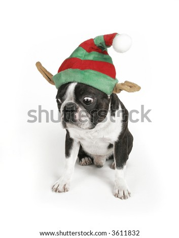 a boston terrier with a holiday hat on