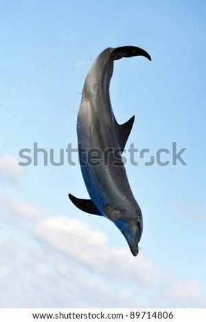 A Bottle-nose Dolphin jumping in the air in front of a blue sky