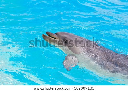 A bottlenose dolphin playing in water park