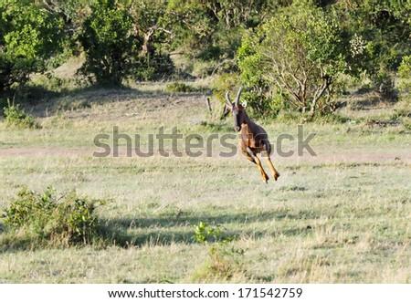 A bouncing lone beautiful Topi antelope - stock photo