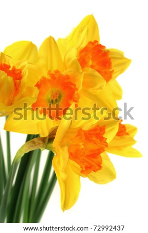 a bouquet daffodils on white background - stock photo