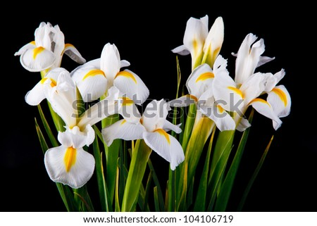 a bouquet of irises on a black background - stock photo