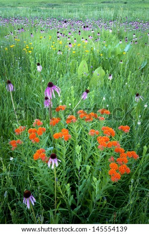A bouquet of prairie wildflowers including butterfly weed, purple coneflower and prairie dock.  Schulenberg Prairie, The Morton Arboretum, Lisle, Illinois. - stock photo
