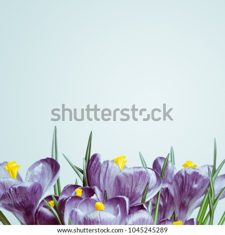 A bouquet of purple crocuses on a white background. The first spring flowers. Color Tinting