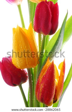 A bouquet of  tulips   with  water drops - stock photo
